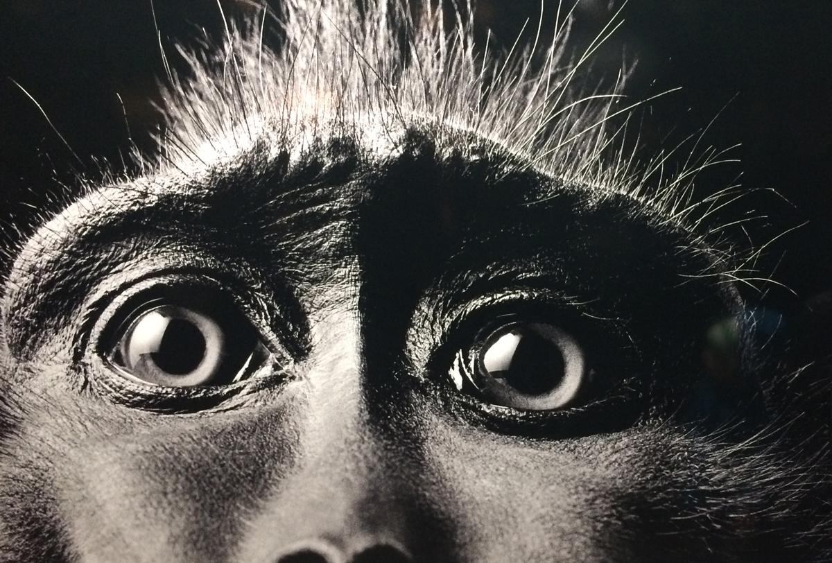 Das Foto zeigt eine Aufnahme eines Gorilla