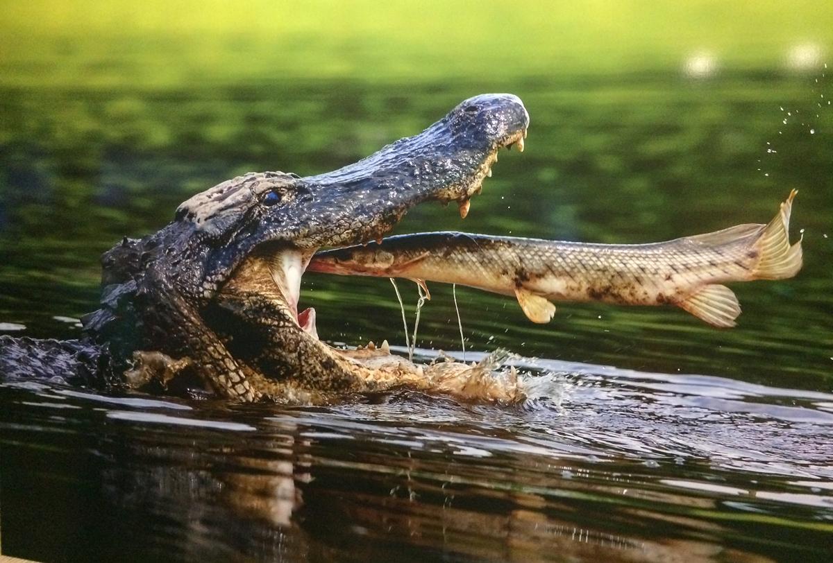 Das Foto zeigt ein Krokodil, das gerade einen Fisch frisst
