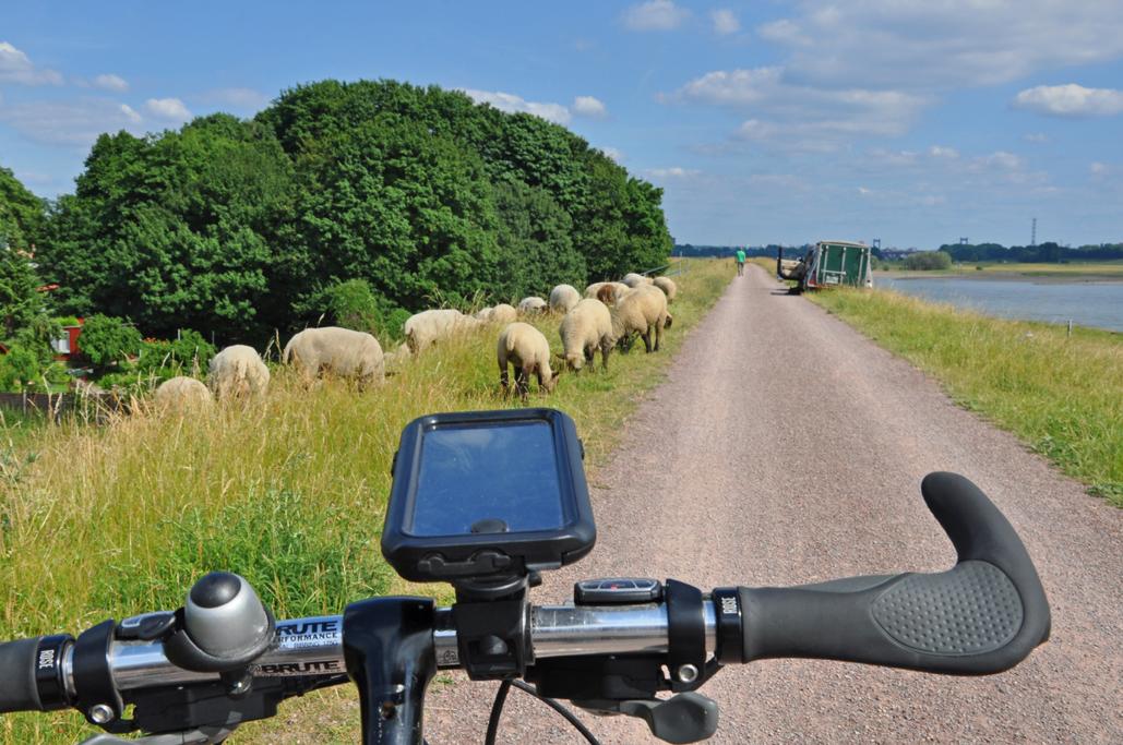 Das Foto zeigt den Lenker des Fahrrads und die Schafe am Wegesrand der radrevier.ruhr Strecke