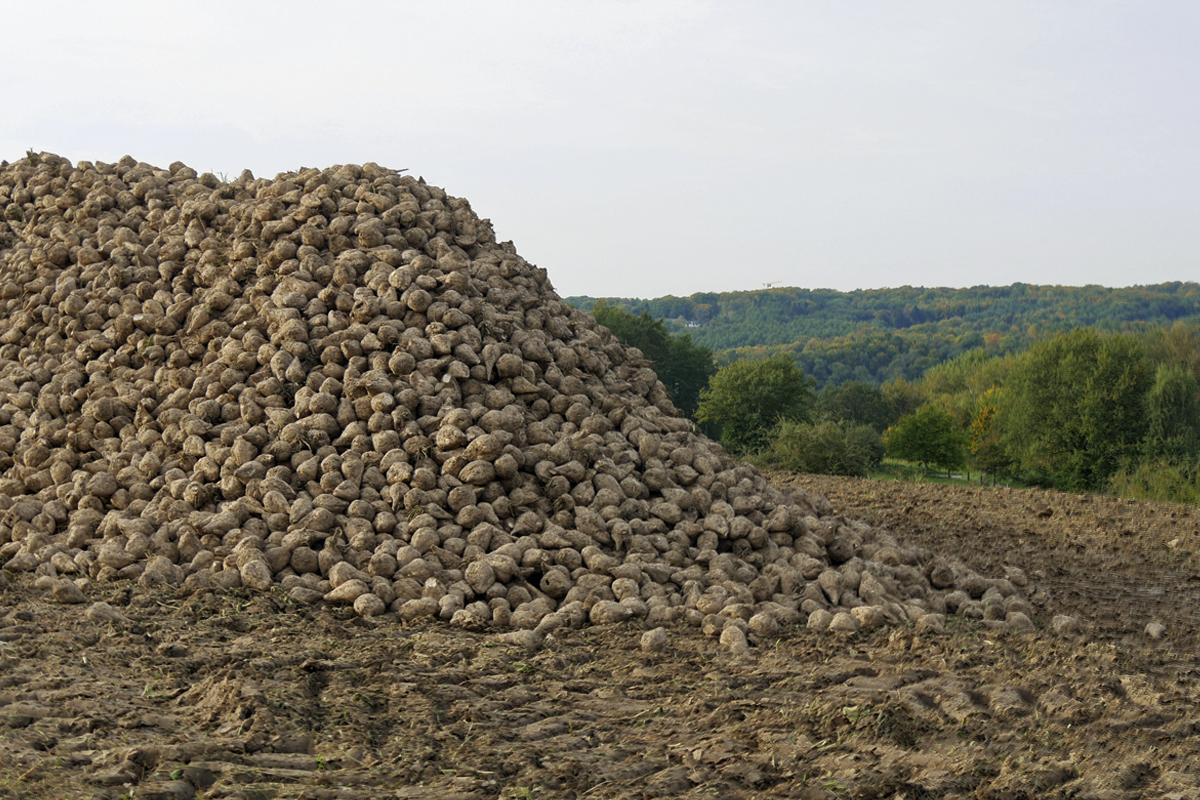 Das Foto zeigt einen Berg von Zuckerrüben auf dem Baldeneysteig in Essen