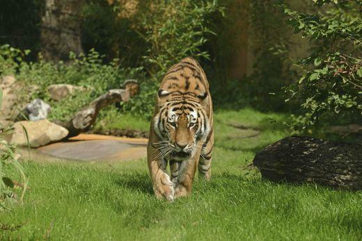 Das Foto zeigt den Tiger Fedor im Allwetterzoo Münster