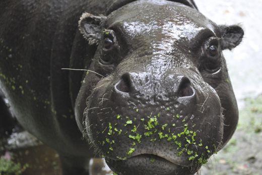 Das Foto zeigt ein Nildpferd im GaiaZOO