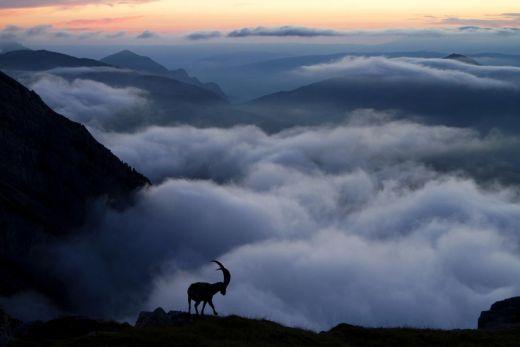 Das Foto zeigt einen Steinbock vor einer atemberaubenden Kulisse auf einem Berg