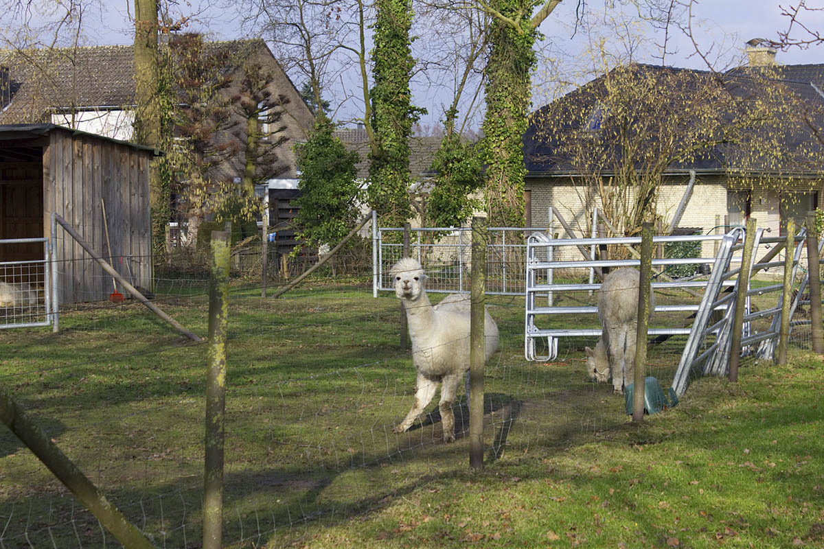 Das Foto zeigt Alpakas am Schloss Ringenberg in Hamminkeln