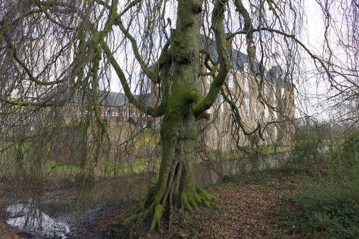 Das Foto zeigt einen märchenhaften Baum vorm Schloss Ringenberg in Hamminkeln