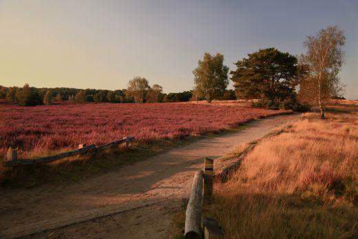 Das Foto zeigt die Westruer Heide in Haltern am See in voller Blüte