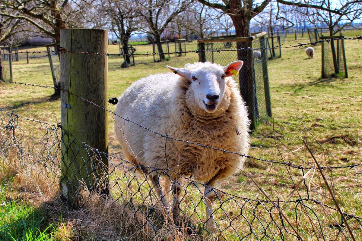 Das Foto zeigt ein Schaf auf der Weide