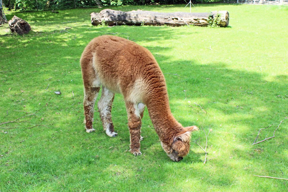 Das Bild zeigt ein Alpaca