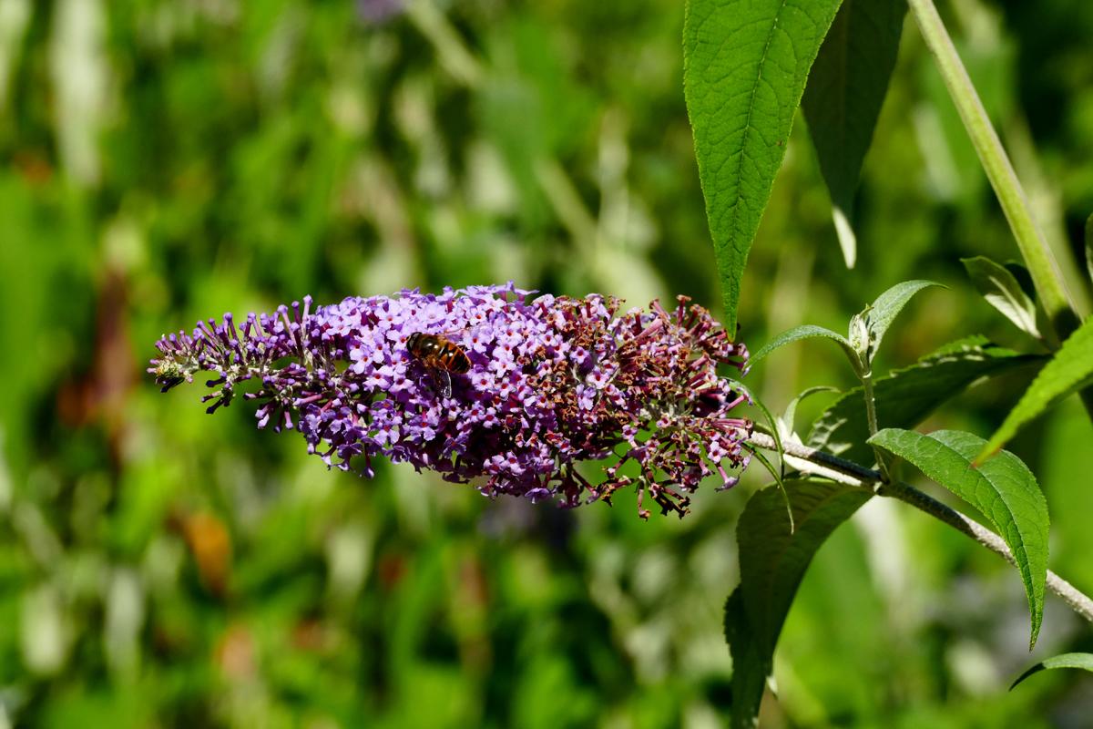 Das Bild zeigt eine Biene auf einer Blume