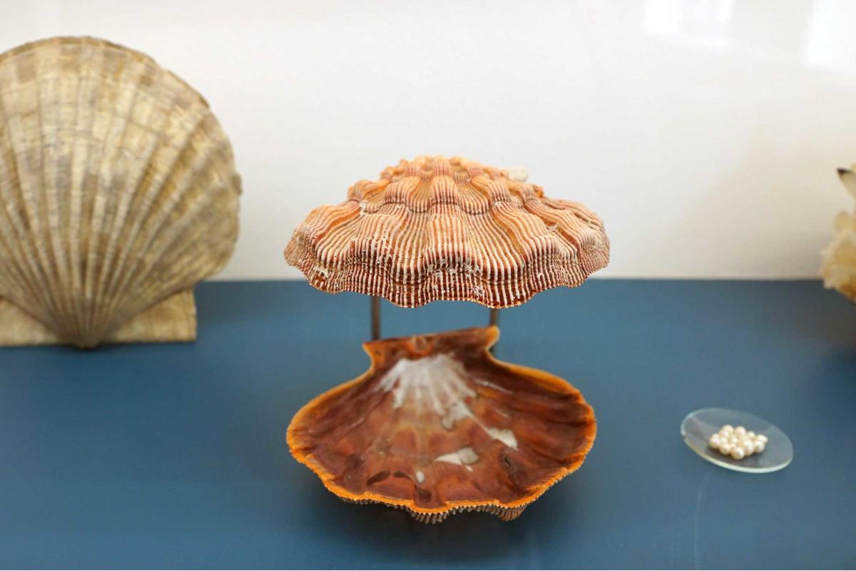 Das Bild zeigt eine Jakobsmuschel im Mineralienmuseum in Essen