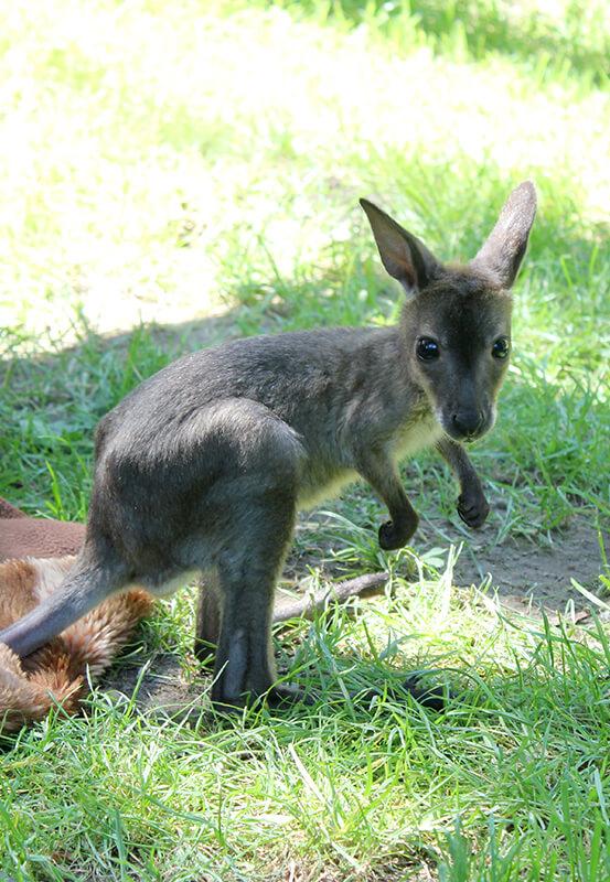 Das Foto zeigt das Kängurubaby Lizzy im Zoo Duisburg