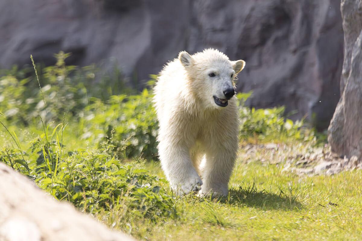Das Foto zeigt das Eisbärbaby Nanook in der ZOOM Erlebniswelt in Gelsenkirch