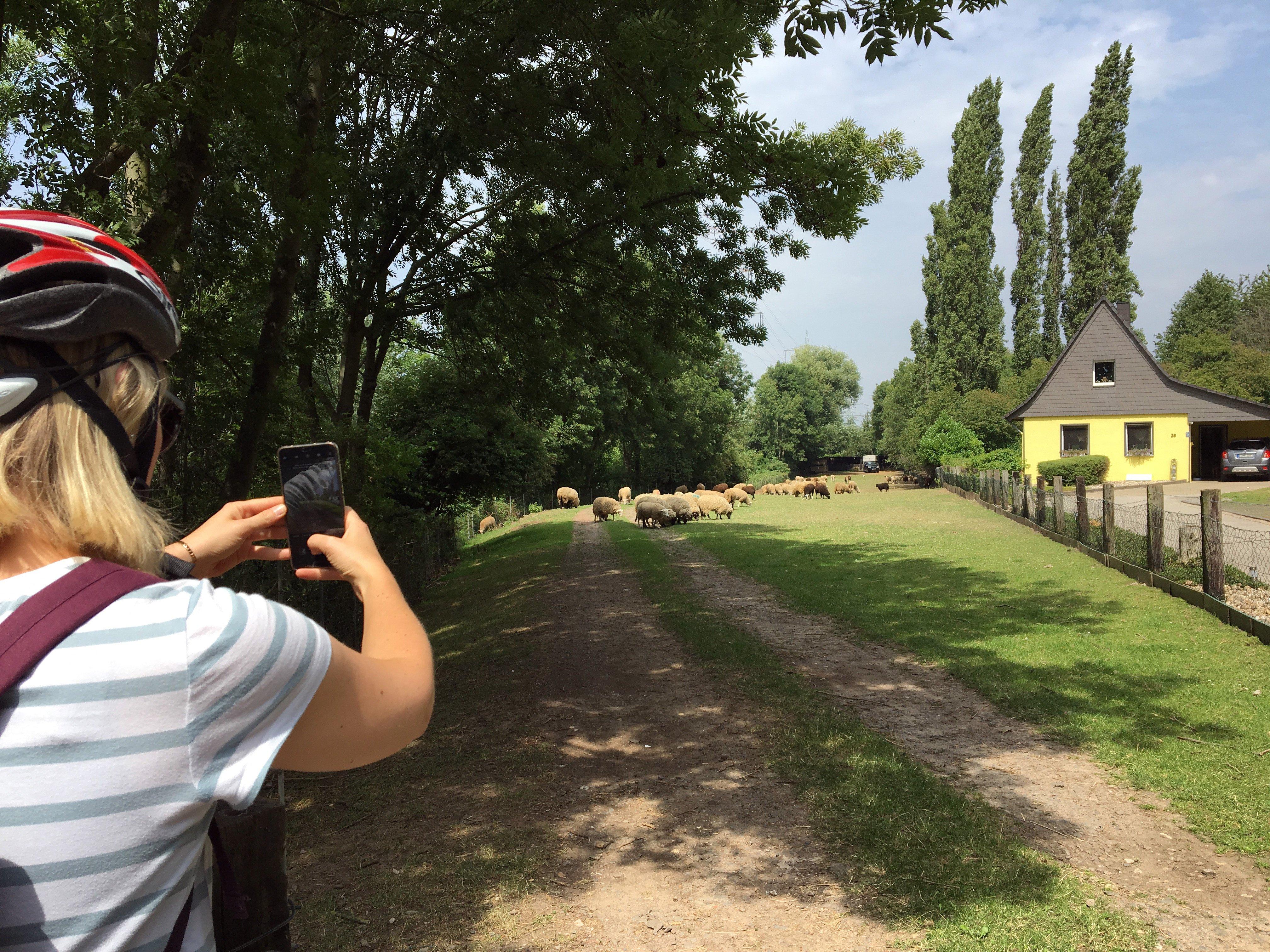 Das Foto zeigt eine Frau die Schafe fotografiert im Städtedreieck Mülheim an der Ruhr, Oberhausen, Essen