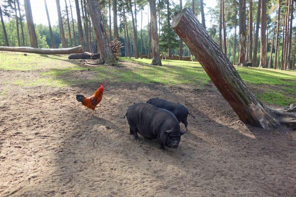 Das Bild zeigt Schweine im Wildpark Granat