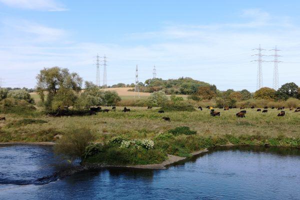 Das Bild zeigt Auerochsen an der Ruhr