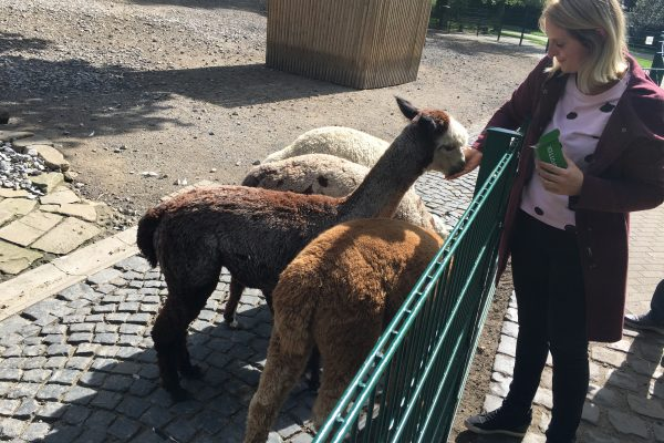 Das Foto zeigt, wie Katalina Alpakas im Gysenbergpark in Herne füttert