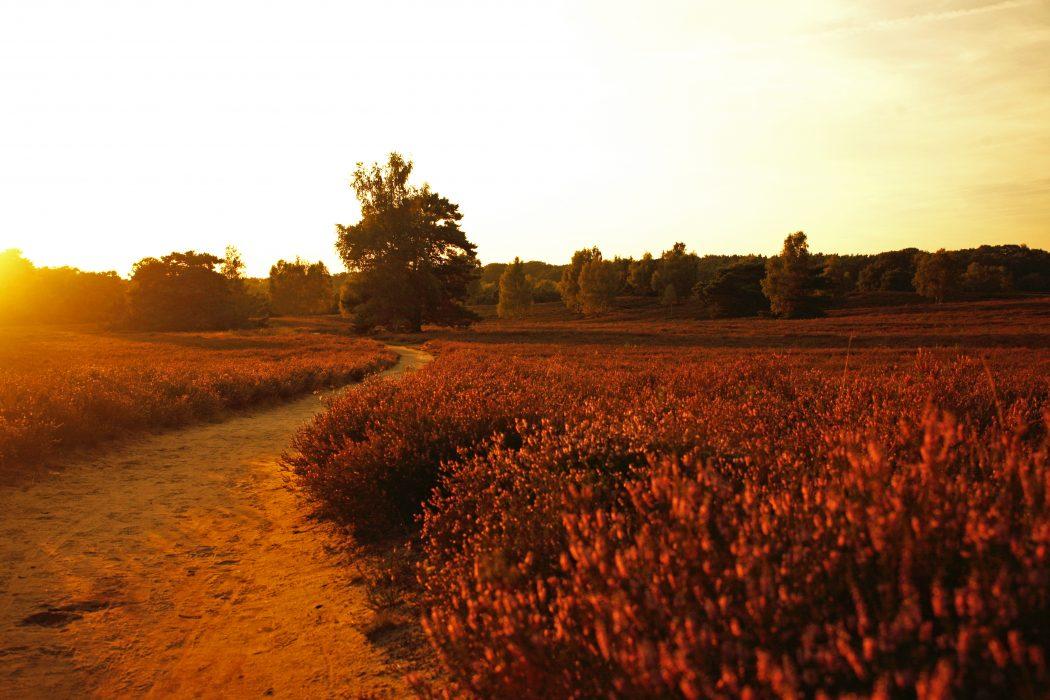 Das Foto zeigt die Westruper Heide