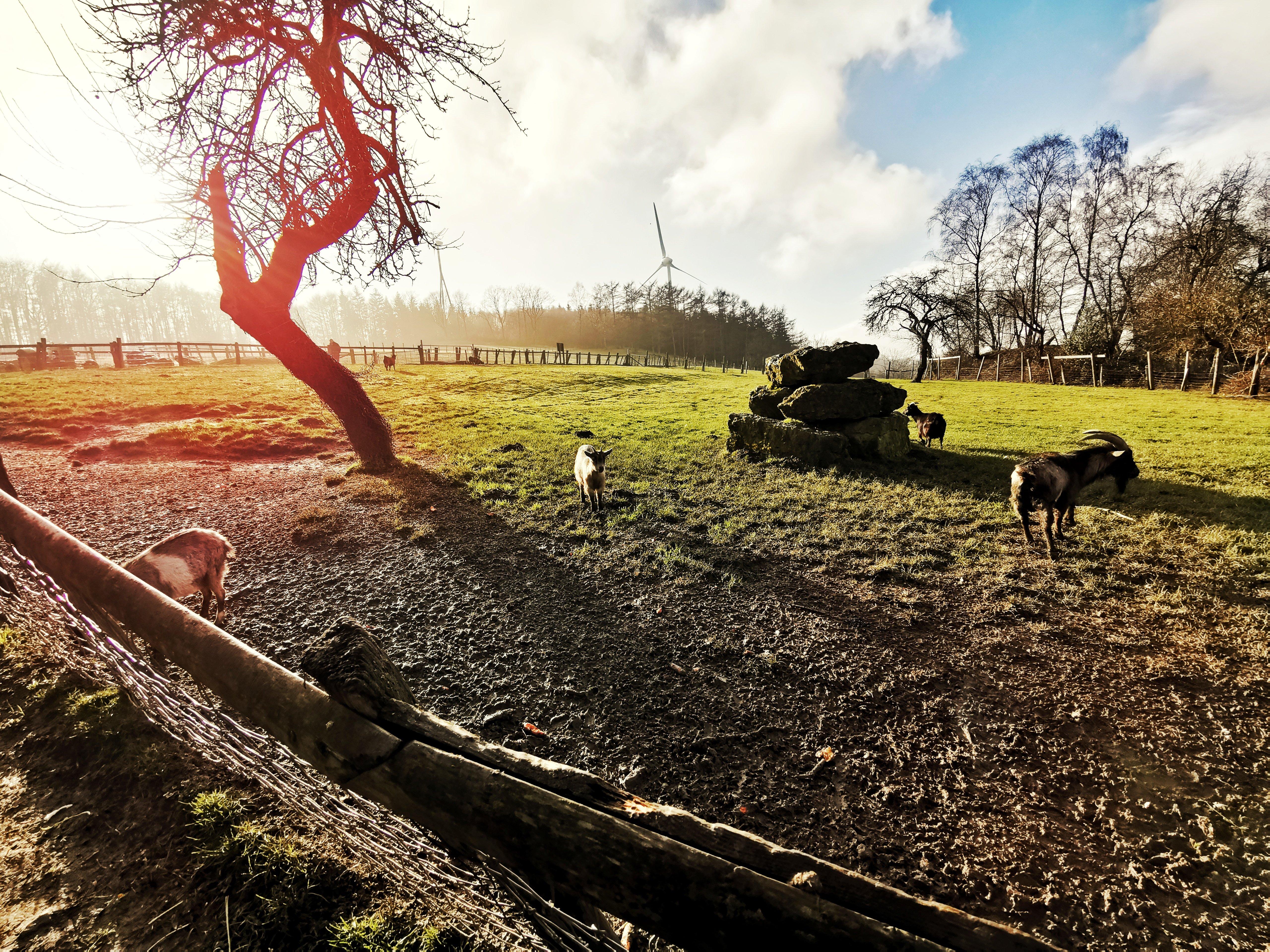 Das Bild zeigt Ziegen in der Elfringhauser Schweiz