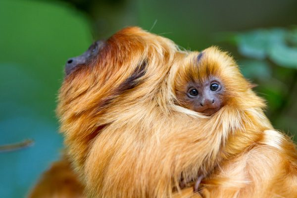 Das Bild zeigt Affen im Affenpark Apenheul