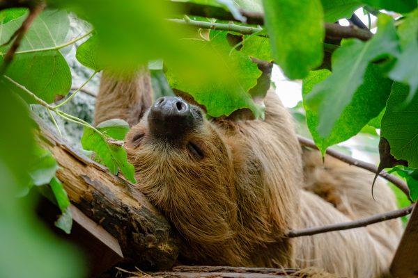 Das Bild zeigt ein Faultier im Zoo Duisburg