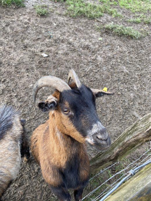 Das Bild zeigt eine Ziege in der Elfringhauser Schweiz