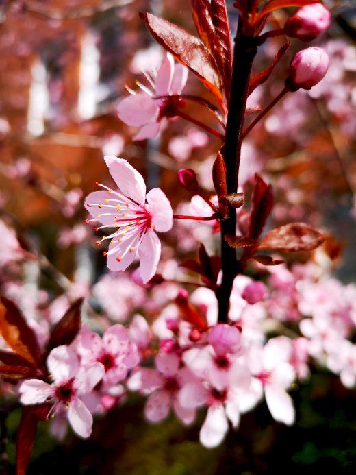 Das Foto zeigt rosafarbene Blüten