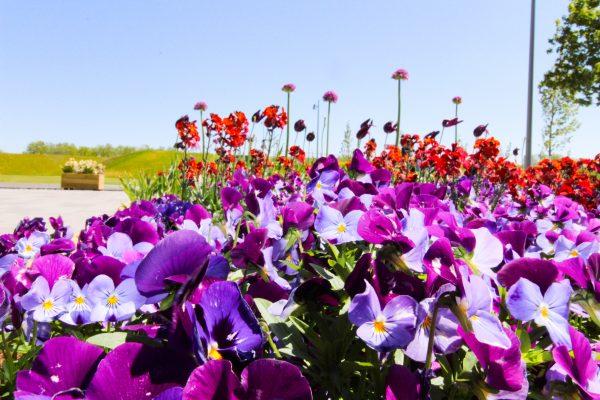 Das Bild zeigt Blumen auf der Landesgarten Kamp-Lintfort