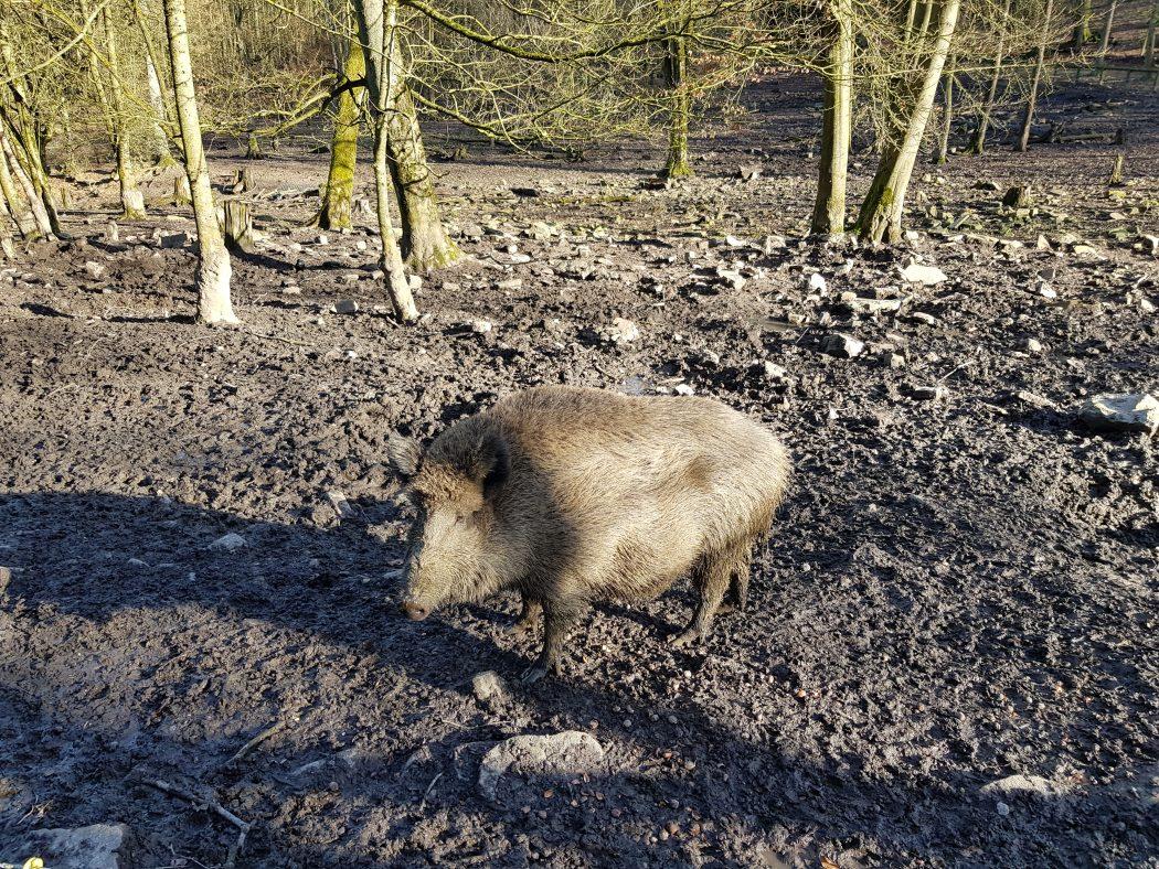 Das Bild zeigt ein Schwein im Wildgehege