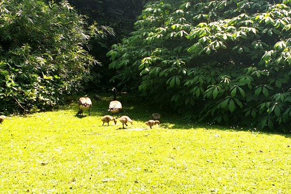 Das Bild zeigt Gänse im Rombergpark Dortmund