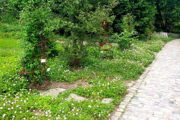 Das Bild zeigt Clematis im Rombergpark Dortmund