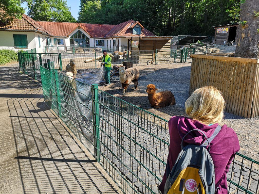 Das Bild zeigt Alpakas im Gysenbergpark