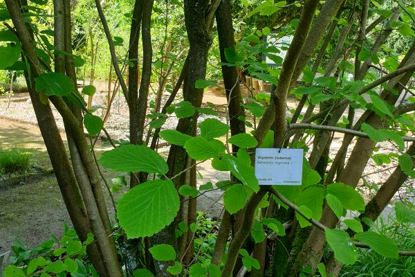 Das Bild zeigt eine Pflanze im Rombergpark Dortmund
