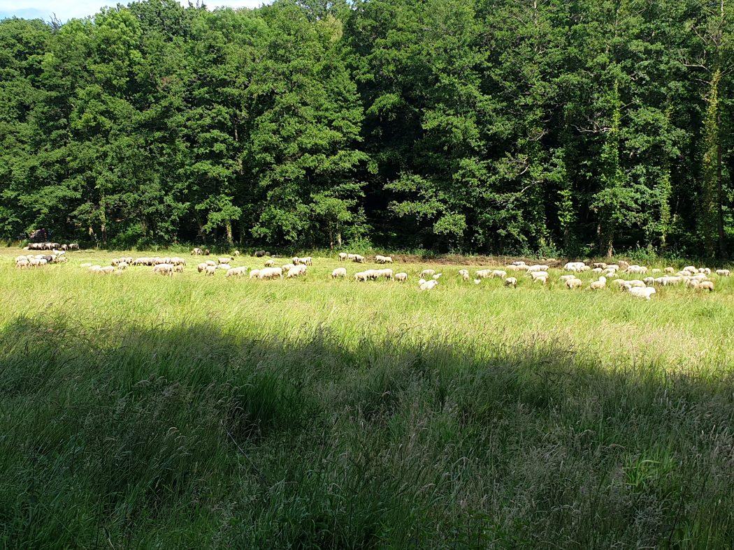 Das Bild zeigt eine Schafsherde im Rombergpark Dortmund