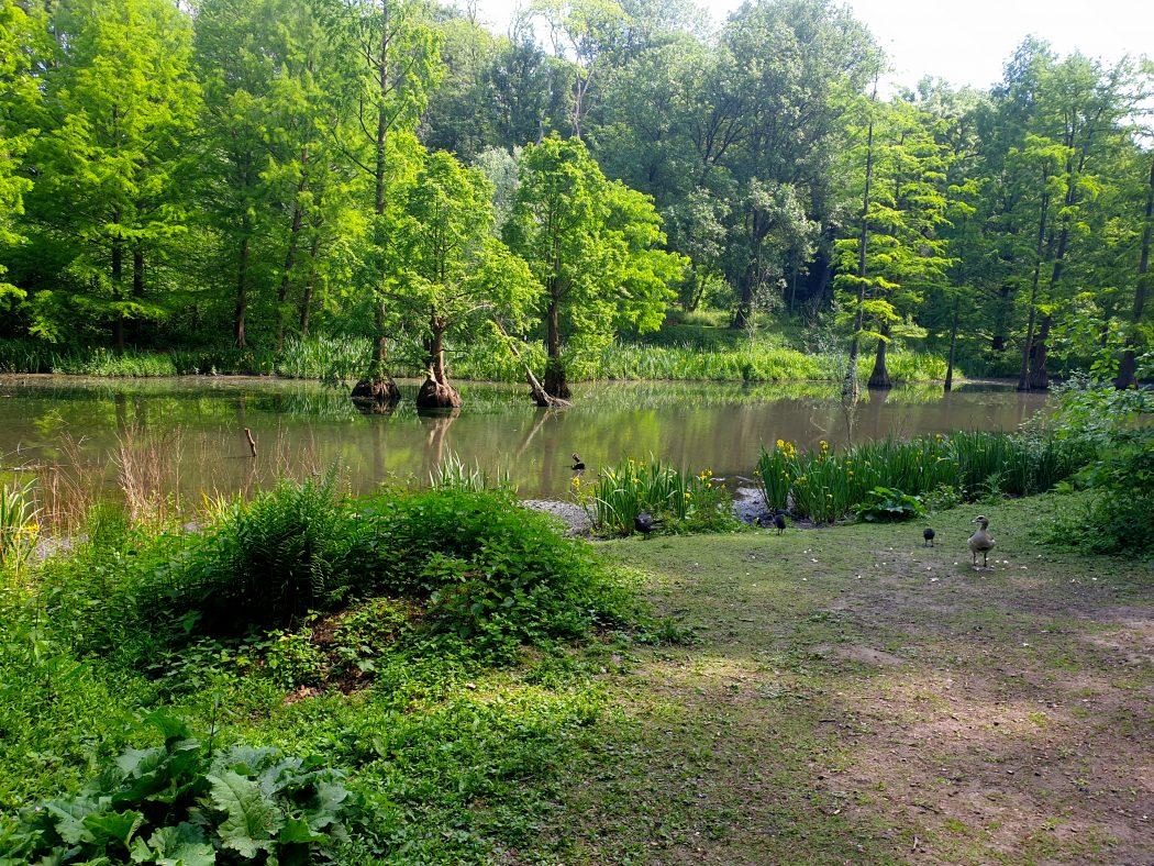Das Bild zeigt Sumpfzypressen im Rombergpark Dortmund