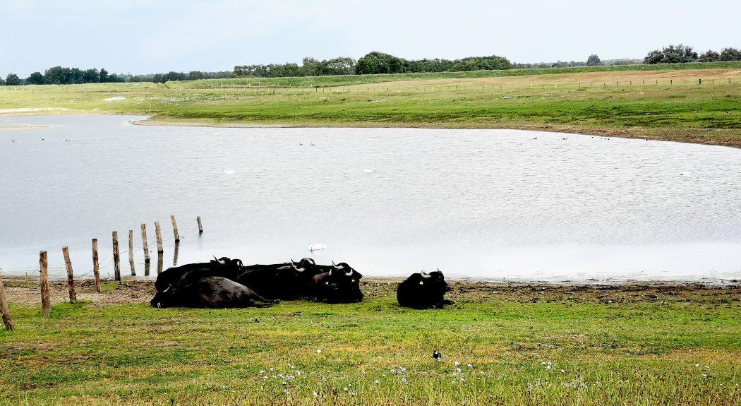 Das Bild zeigt eine Herde Wasserbüffel.