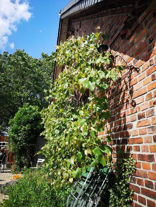 Das Bild zeigt eine Weinranke an einer Mauer.