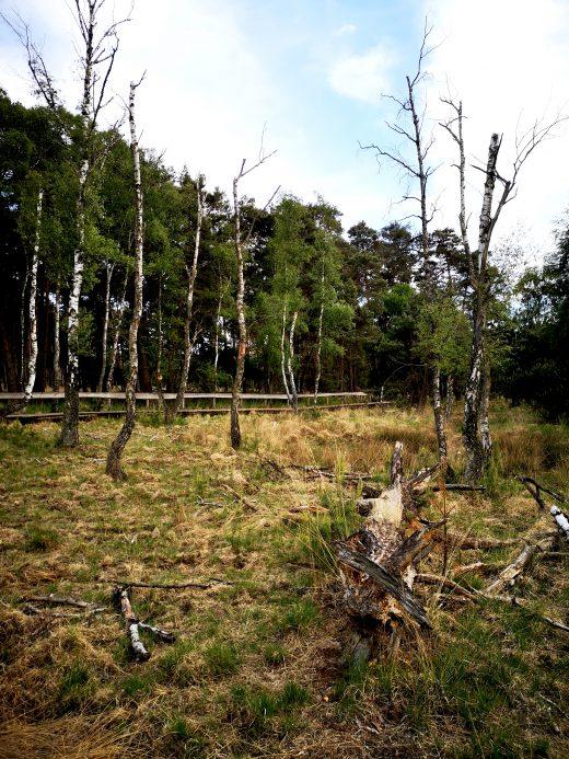 Das Bild zeigt Baumstämme in einem Moor