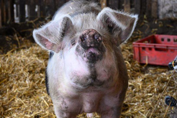 """Das Foto zeigt """"RTL-Schwein"""" Elsa, das vier Wochen lang von Jenke von Wilmsdorff begleitet wurde"""