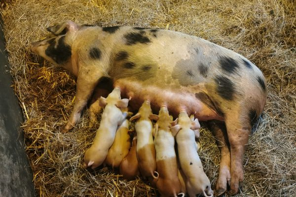 Das Foto zeigt Ferkel samt Mama der Nutztierarche in Hamm