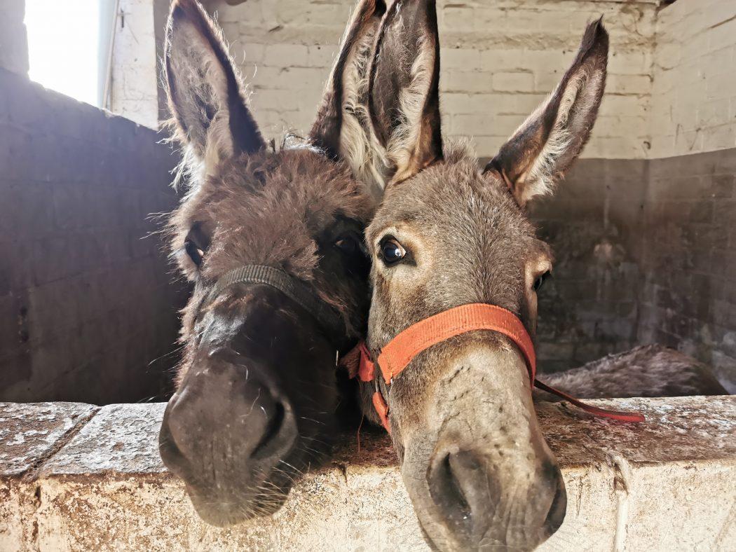 Das Foto zeigt die beiden Esel Joshi und Paul