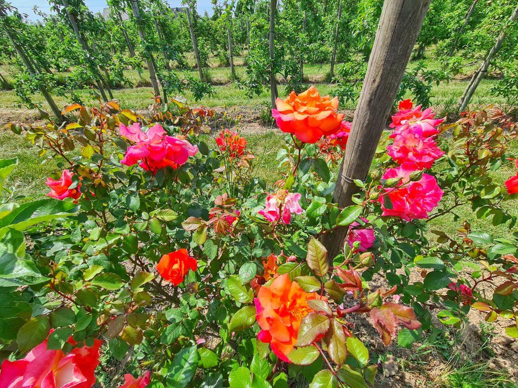 Das Foto zeigt hübsche Rosen auf dem Neuhollandshof im Kreis Wesel