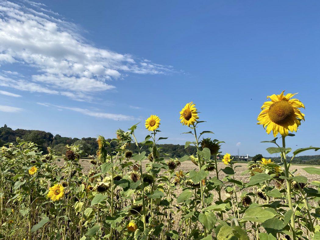 Das Foto zeigt ein Sonnenblumenfeld an der Ruhr