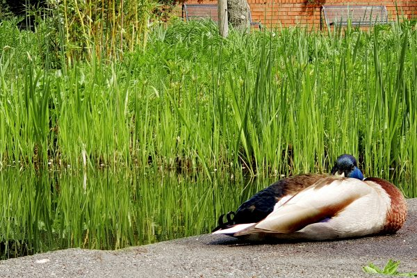 Das Bild zeigt eine Ente