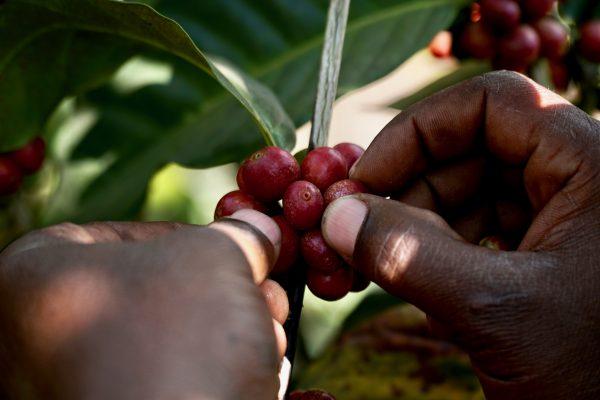Das Foto zeigt die Samen der Kaffeefrucht bei der Ernte in Tansania