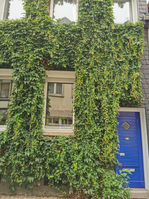Das Foto zeigt eine mit Efeu bewachsene Häuserwand in der Altstadt von Essen-Werden