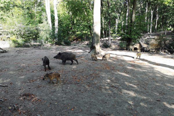 Das Foto zeigt Wildschweine im Weitmarer Holz in Bochum