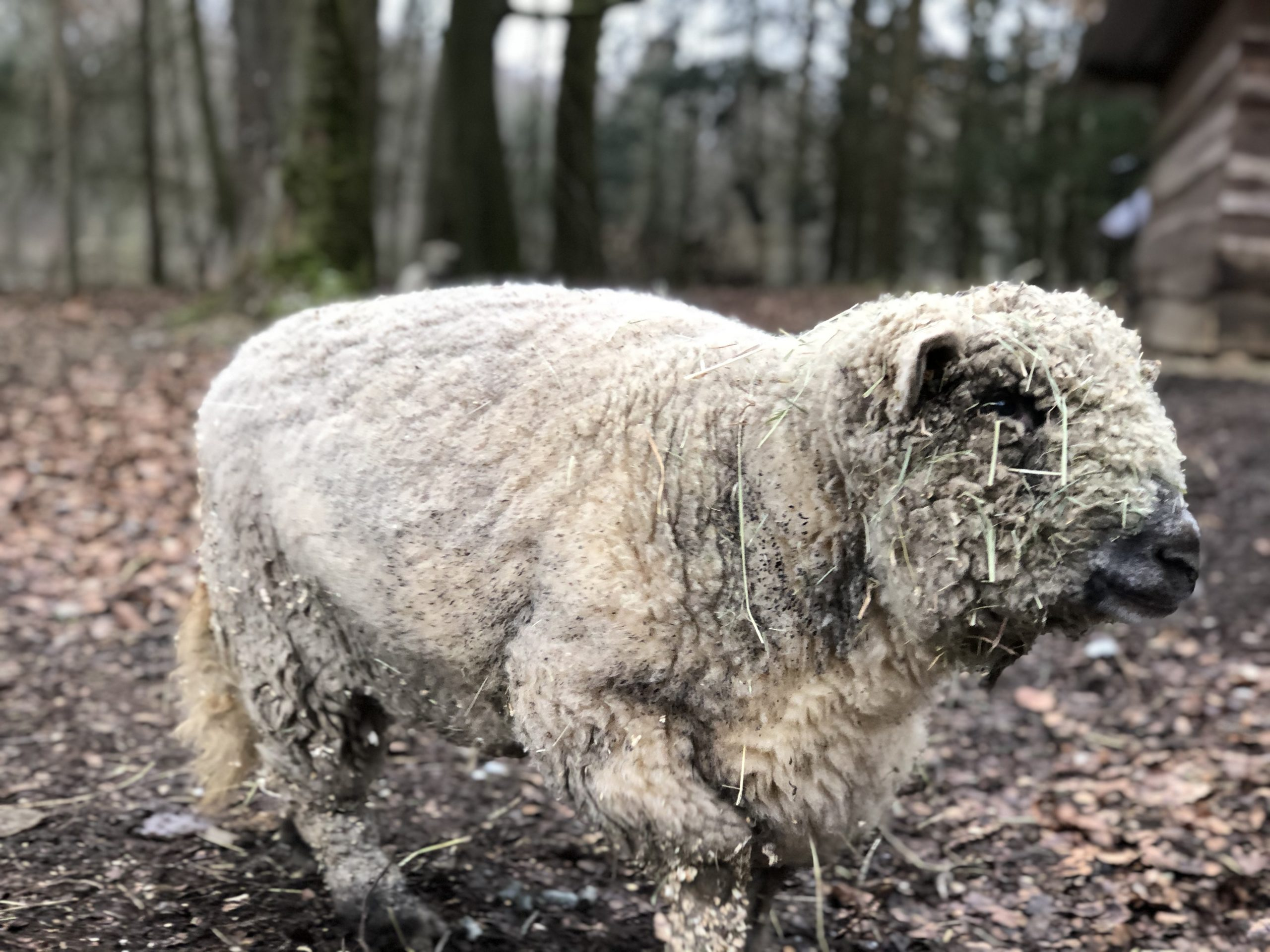 Schaf im Wildwald Vosswinkel in Arnsberg