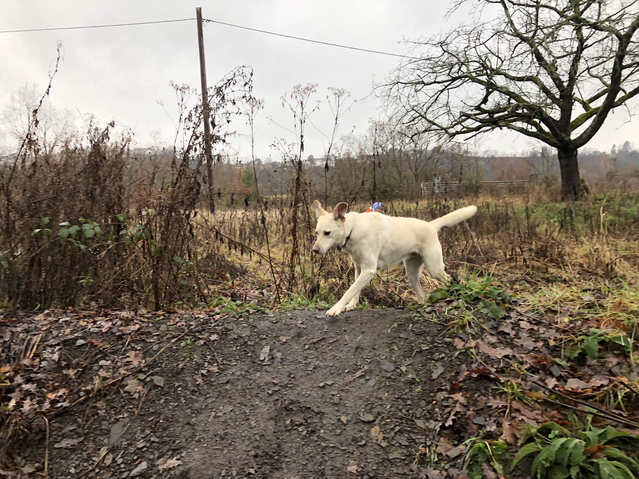 Hund auf dem Spaziergang Richtung Burgruine Hardenstein in Witten im Ruhrgebiet