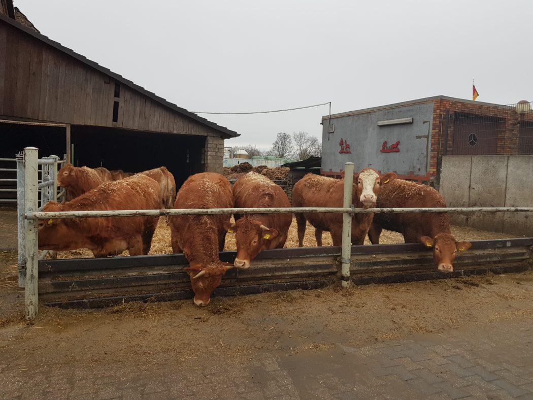 Das Foto zeigt die Rinder des Hofs Schulte-Schüren in Bochum