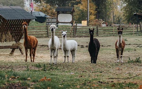 Das Foto zeigt die Alpakas des Hof Klöckers in Castrop-Rauxel